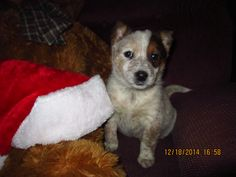 Red heeler pup from cattle dogs rule!