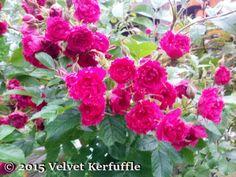 Hybrid Rugosa Rose 'F.