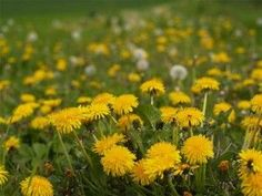 Picking dandelions Remember bringing your mom or teacher big bouquets? Those Were The Days, The Good Old Days, Nostalgia, Cold Home Remedies, Natural Remedies, My Childhood Memories, Back In The Day, Flower Power, Beautiful Flowers