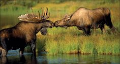 sharing love in Caribou land.it's Caribou looooovvveeee! (Sorry Captain and Tenille! Animals Kissing, Animals And Pets, Funny Animals, Cute Animals, Wild Animals, Moose Pictures, Animal Pictures, Moose Pics, Funny Pictures