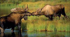 moose love ;)