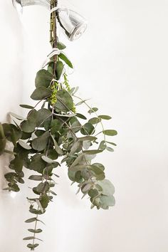 1.Grab a bundle of fresh eucalyptus greens at your local farmers' market/Trader Joe's/bodega. 2.Gather the ends together and tie tightly (with rope or twine). 3.Affix behind your showerhead, just out of the direct stream of water. 4.Shower as usual and enjoy the heavenly scent released when the leaves react with the heat.  #eucalyptus #shower #respitoryhealth #spa #selfcare #bathroomdecor #eucalyptusbenefits Eucalyptus Shower, Eucalyptus Leaves, Driftwood Chandelier, The Chic Site, How To Store Potatoes, Flower Cart, Bathroom Spa, Bathroom Interior, Bathroom Ideas