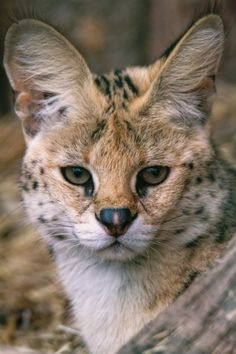 Serval by Daniel Tietz - Photo 64360137 - Cat Bobcat, Serval Cats, I Love Cats, Big Cats, Cute Cats, Beautiful Creatures, Animals Beautiful, Cute Animals, Kittens Cutest