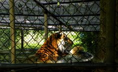 A Tiger In The Tank