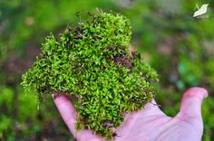How to harvest moss for terrariums and other projects...