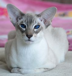 Orientals are like the Siamese in body type and personality but do not share the characteristic Siamese colouring (coloured points on the head, tail, and legs). They are generally solid or tabby-patterned in a variety of colours.