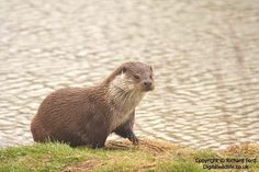 the european otter has made a comeback in the uk recently