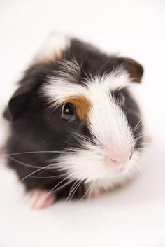 If you are a new guinea pig owner, you have likely already purchased a pet store pellet mix and hay to feed to your pet. You should also feed your gui...