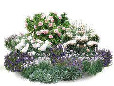 """Композиция для """"Сада ароматов"""". Розы: Abraham Darby ,Sharifa Asma ,Winchester Cathedral. Партнеры: душица, энотера, луки, иссоп и монарда и чистец."""