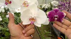 Como fazer mudas de orquídea - parte 01 - fecundação Growing Orchids, Orchids Garden, Plantar, Dream Garden, Beautiful Gardens, Flowers, Color, Mauro Silva, Manual