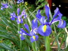 Hollandica Blue Iris.  Just planted these beauties.  Hopefully they will do well