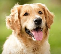 Golden Retriever Dog ==> +10.000 Free Articles, Videos & Pictures