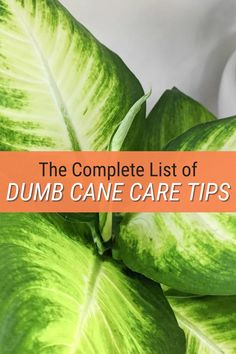 Dumb Cane Care: How to Care for Dieffenbachia Houseplants Peperomia Plant, Pothos Plant, Dumb Cane Plant, Zz Plant, Lower Lights, Light Water, Plant Lighting, Fiddle Leaf Fig, Neem Oil