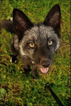 black fox - awww!