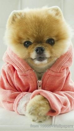 say hello to jiff the internet s cutest dog the fuzziest most adorable celebrity is making the 19829 Baby Animals Tiny Puppies, Cute Dogs And Puppies, Little Puppies, Cutest Dogs, Puppies Tips, Doggies, Cute Little Animals, Cute Funny Animals, Funniest Animals