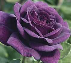 20 Purple Rose Flower Rose Seeds Garden Deco is fashionable and cheap, come to NewChic to see more trendy 20 Purple Rose Flower Rose Seeds Garden Deco online. Dark Purple Roses, Deep Purple, Purple Flowers, Lavender Roses, Coral Roses, Plum Purple, Rose Flowers, Wedding Flowers, Ronsard Rose