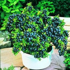 Growing Top Hat Blueberry - Blueberry Plants - Plant Manuals - Stark Bro's