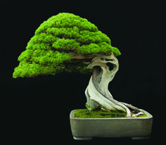 20 Breathtaking Bonsai Trees