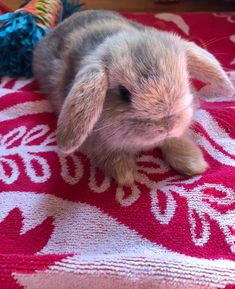 Hi guys I'm Winston and I love to run around Funny Animal Clips, Cute Funny Animals, Cute Baby Animals, Funny Bunnies, Baby Bunnies, Chinchilla, What Is Cute, Dwarf Bunnies, Cute Buns