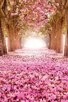 Pretty-in-pink tree tunnel! World's Most Beautiful, Beautiful World, Beautiful Places, Absolutely Gorgeous, Wonderful World, Most Beautiful Wallpaper, Pretty In Pink, Pretty Flowers, Pink Flowers
