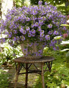 Scewola - niezwykły kwiat balkonowy. Poradzi sobie w każdych warunkach - Genialne Lawn And Garden, Home And Garden, Flower Tower, Easter 2021, Container Gardening, Landscape, Outdoor Decor, Flowers, Plants