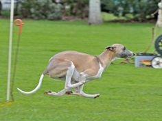 Fully powered Whippet Hound Breeds, Dog Breeds, Italian Whippet, Pet Dogs, Dogs And Puppies, Devon Rex Cats, Whippet Dog, The Perfect Dog, Wolfhound