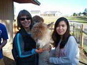 From the American English Institute at the University of Oregon - At Pura Vida Alpaca Farm ! http://studyusa.com/