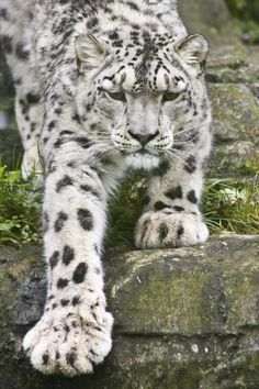 Endangered: The snow leopard's powerful build allows it to scale steep slopes with ease. Its hind legs allow the snow leopard the to leap six times the length of its body. A long tail provides balance and agility, and wraps around the resting cat to provide protection from the cold. Snow leopards are found in 12 countries—including China, Pakistan, and Mongolia—but their population is dropping. Adopt a cat or donate to the World Wildlife Fund and help preserve this beautiful animal!