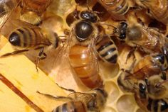 Beginner to beginner Queen Bee rearing - this website has tons of info about bee rearing