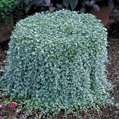 """Vigorous and easy to grow, this Dichondra boasts thick, super-soft deep green leaves (about a half-inch wide) arising profusely on very well-branched plants that need no pinching. - This might be good for my """"dead tree"""" plantings. Think it would look pretty dripping down the trees."""