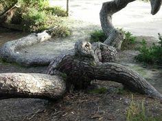 Pinheiro rastejante do litoral, Mata Nacional de Leiria ,Marinha Grande