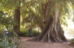 Rubber Tree, Cape Town, Gardens, Plants, Ficus Elastica, Outdoor Gardens, Plant, Garden, House Gardens