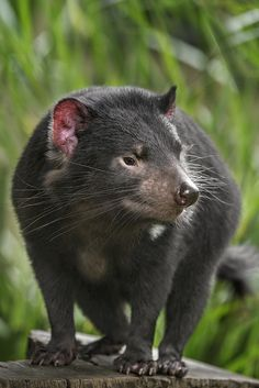 Tasmanian devils may have a fearsome reputation, but they are really just misunderstood. - The Tasmanian devil is a carnivorous marsupial of the family Dasyuridae, now found in the wild only on the Australian island state of Tasmania. Nature Animals, Animals And Pets, Baby Animals, Cute Animals, Especie Animal, Mundo Animal, Carnivore, Australia Animals, Tasmanian Devil