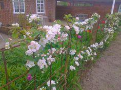HAVEHJERNEN: Blomstrende æbleespalier