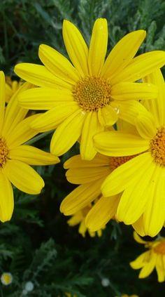Margherite,Daisies #flowers #daisies