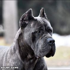 """The breed is commonly referred to as the """"Mastiff"""". Also known as the English Mastiff this giant dog breed gets known for its splendid, good nature. Cane Corso Bleu, Chien Cane Corso, Cane Corso Dog, Giant Dog Breeds, Giant Dogs, Fierce Animals, Puppies And Kitties, Doggies, Pets"""