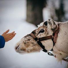 #Reindeer #Lapland #Finland� � #