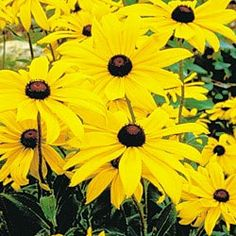 These are the hardiest flowers ever! They multiply like crazy and they bloom all summer long...