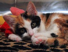 Animal Gato, Mundo Animal, Gato Calico, Calico Cats, Pretty Cats, Beautiful Cats, Crazy Cat Lady, Crazy Cats, Cute Cats And Kittens