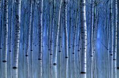 Blue Birch Forest, Italy