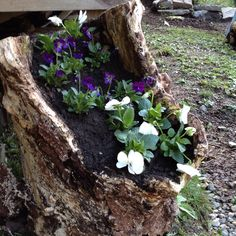 Hollow log flower planter. Just one of mother natures gifts.   #Hollow log, #Planter, #Gardening