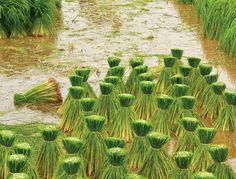 Rice fields of Thailand
