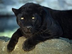 Panther #animals
