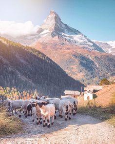 Zermatt and Matterhorn views with the local blacknose sheep.