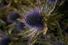 Sea Holly for buttonholes- very Scottish! Sea Holly, Thistles, Buttonholes, Dandelion, Wedding Flowers, Spring, Plants, Summer, Photography