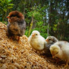Just born! And two more cracking into the world right now. Give a warm #Aloha to these little fluff-balls !