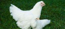Un método de apareamiento selectivo iniciado en 1957 ha resultado en una diferencia notable de tamaño en pollos blancos Plymouth Rock. Imagen: John McCormick. Fuente: Virginia Tech.