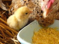 Picture of chick stock photo, images and stock photography. Royalty Free Images, Stock Photos, Pictures, Photography, Photos, Photograph, Copyright Free Images, Photo Illustration, Fotografie