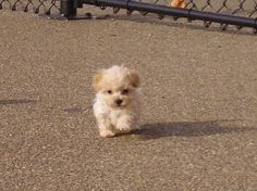 #Maltipoo I just got one of these.. and lets just say that he is too cute for words!
