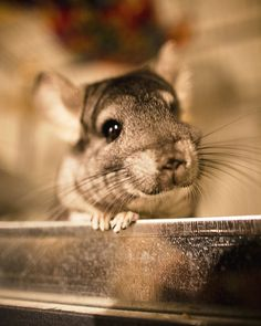 This chinchilla looks extremely curious and happy.